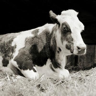 Isa Leshko, 'Bessie, Holstein Cow, Age 20', 2016