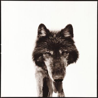 Nine Francois, 'Wolf III'