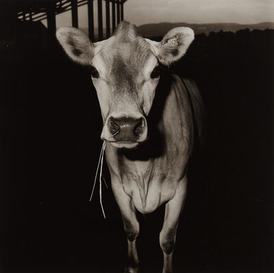 Peter Hujar, 'Cow with Straw in Its Mouth', 1978