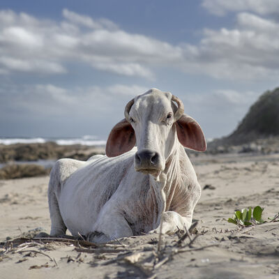Daniel Naudé, 'Xhosa cow sitting on the shore. Mnenu river mouth, Eastern Cape, South Africa', 2019