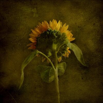 Jack Spencer, 'Sunflower 1/20'