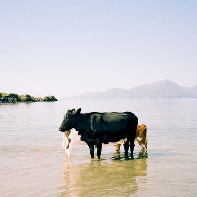 Muir Vidler, 'Cows, Sea, Isle of Muck', 2014
