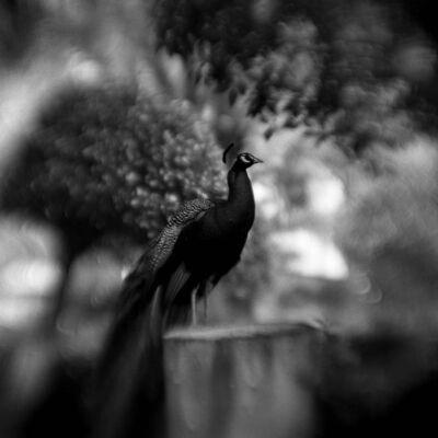 Keith Carter, 'Peacock Study #2', 2004