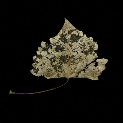 Meridel Rubenstein, 'Winter Cottonwood Filagree Leaf', 2010