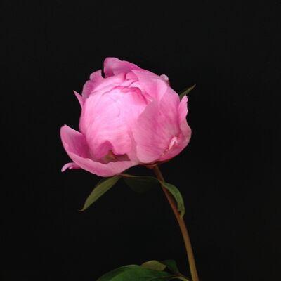 Elvira González, 'Peonía rosa ', 2017