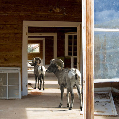 Sherre Wilson Liljegren, 'Big Horn Sheep, animal photograph', 2013