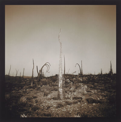 Richard Misrach, 'Boojum Tree', 1976-2001