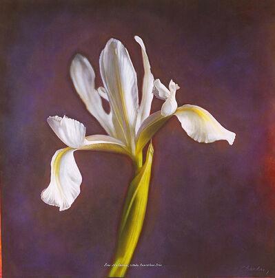 Kate Breakey, 'Iris 'Natascha' , White Beardless Iris', 2000