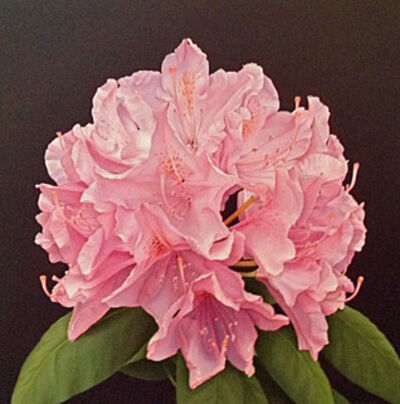 Donald Peeler, 'Pink Rhododendron', 2013