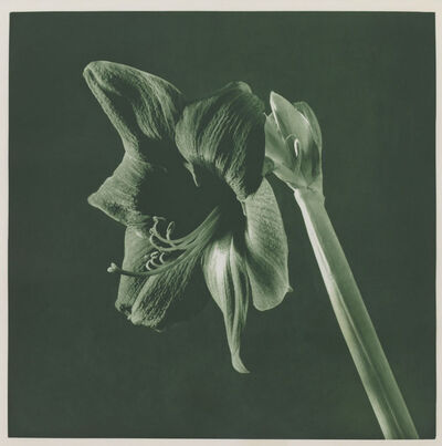 Robert Mapplethorpe, 'UNTITLED [AMARYLLIS].  FROM THE PORTFOLIO 'FLOWERS'', 1987