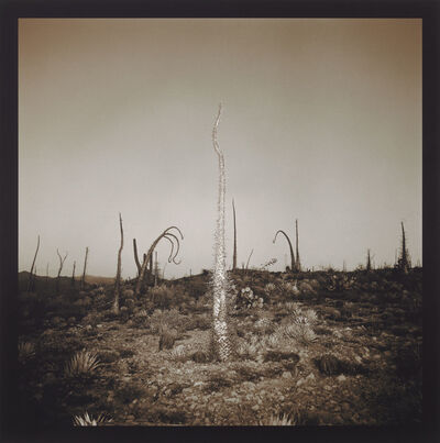 Richard Misrach, 'Boojum Tree', 1976 -2001
