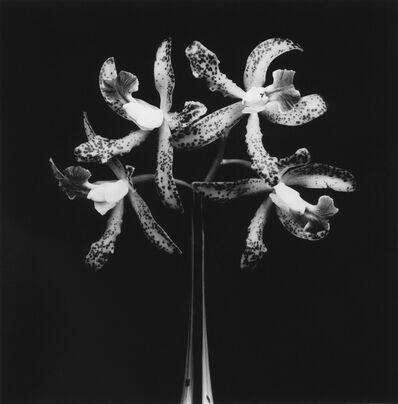 Robert Mapplethorpe, 'Orchids', 1983