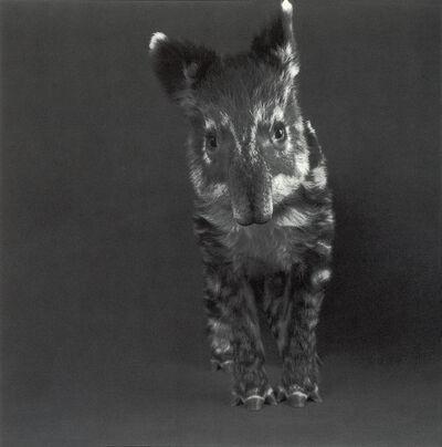 "Michael O'Neill, 'Mountain Tapir, ""Sandia""', 1991"