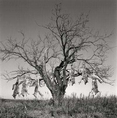 Laura Wilson, 'Mesquite Tree with Coyotes, Lambshead Ranch, Albany, Texas, January 9, 1998 '