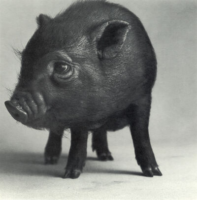 "Michael O'Neill, 'Pot-Bellied Pig, ""Sleeping Beauty""', 1991"
