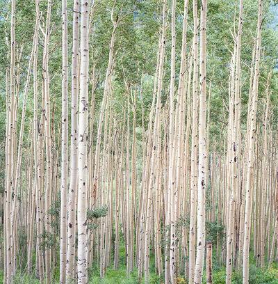 Christopher Burkett, 'Summer Aspen Forest, Colorado', n.d.