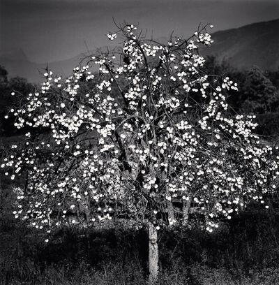 Michael Kenna, 'Persimmon Tree, Sulmona, Abruzzo, Italy', 2015