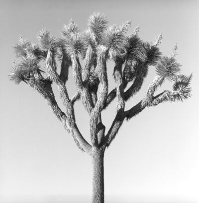 Nicolas Auvray, 'Joshua Tree', 2016