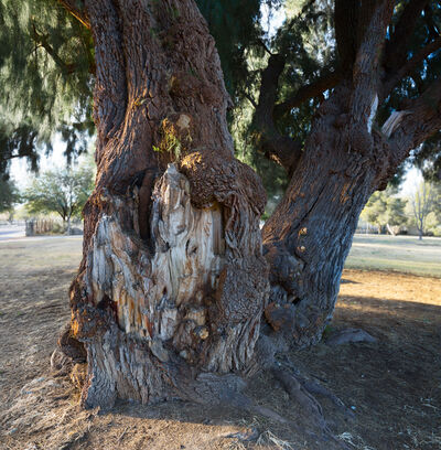 "Richard Rivera, 'Twin Trees, Desert Breeze, 48"" wide', 2014"