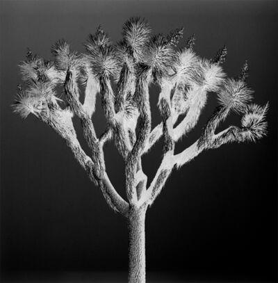 Nicolas Auvray, 'Joshua Tree II', 2016