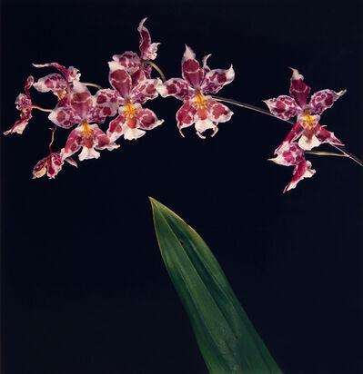 Robert Mapplethorpe, 'Orchids', 1989
