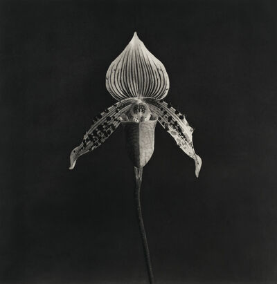 Robert Mapplethorpe, 'Orchid', 1986-1987