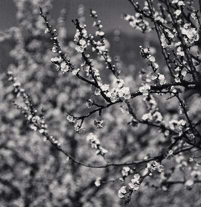 Michael Kenna, 'Apricot Tree Blossoms, Martiniana Po, Cuneo, Italy', 2019