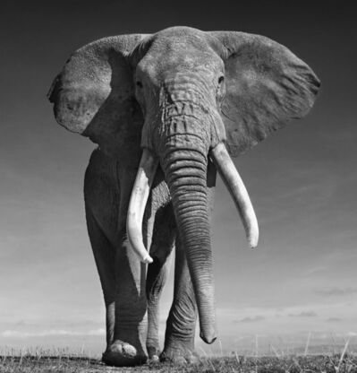 David Yarrow, 'The Don, Amboseli, Kenya', 2017