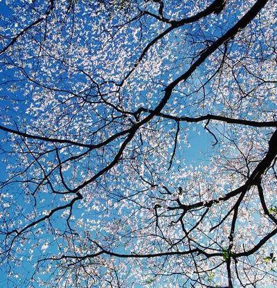 Christopher Burkett, 'White Dogwood Canopy', 2000