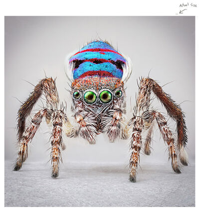 Maria Fernanda Cardoso, 'Spiders of Paradise: Maratus speciosus from the Actual Size Series', 2018