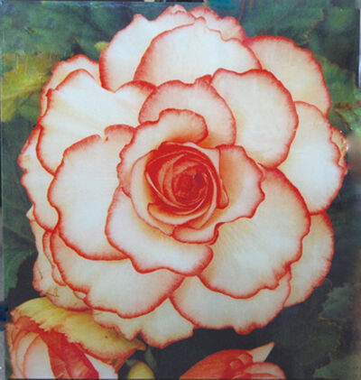 Peter Dayton, 'Untitled 'Begonia'', 2001