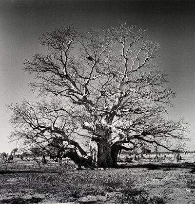 Nicolas Auvray, 'The Boab Tree', 2005