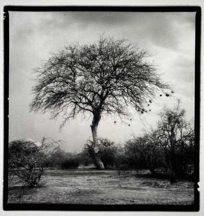 Nicolas Auvray, 'The weaver Tree', 2016