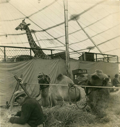 Rudy Burckhardt, 'CIRCUS ANIMALS IN A TENT', 1940