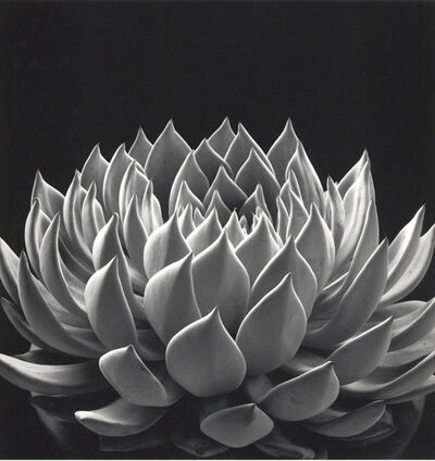 Don Worth, 'Succulent: Echeveria 'Radiance,' San Francisco', 1968