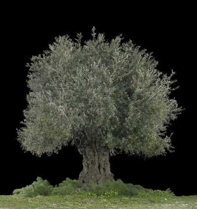 Tal Shochat, 'Olive (Beit Jimal)', 2017