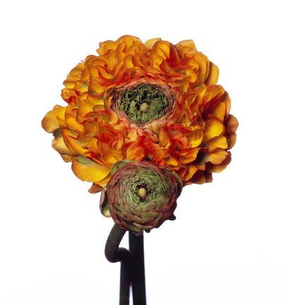 Michael Zeppetello, 'Pom Pom Ranunculus', 2018