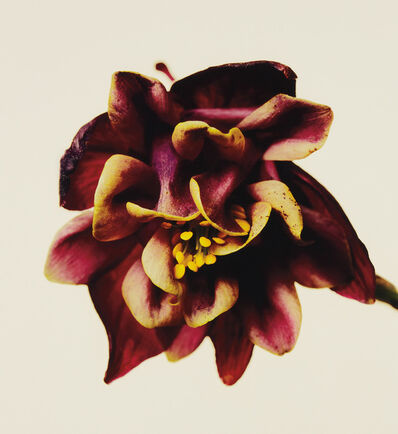 Irving Penn, 'Columbine/Aquilegia vulgaris: William Guiness, New York', 2006