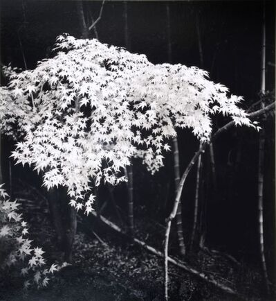 Michael Kenna, 'Maple Tree in Autumn, Kyoto, Honshu, Japan', 2001