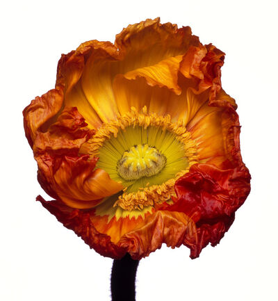 Michael Zeppetello, 'Iceland Poppy (Z)', 2018