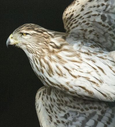 Deborah Samuel, 'Coopers Hawk VI V2', 2012