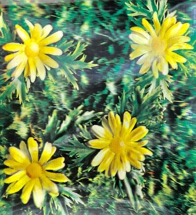 Andy Warhol, 'Untitled (Osaka daisies)', 1970