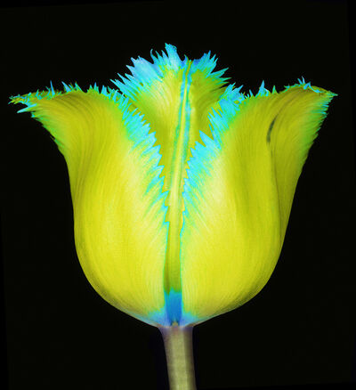 Howard Schatz, 'Fringed Beauty Tulip', 2018