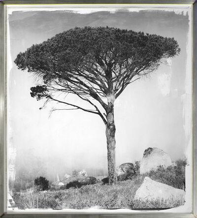 Stephen Inggs, 'Stone Pine 2', 2010-2011