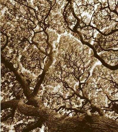 Rena Bass Forman, 'Tree, Anuradhapura, Sri Lanka', 2005
