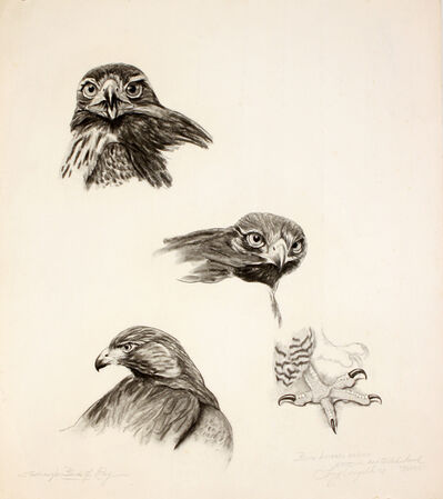 Tony Angell, 'Western Redtailed Hawk', 1971
