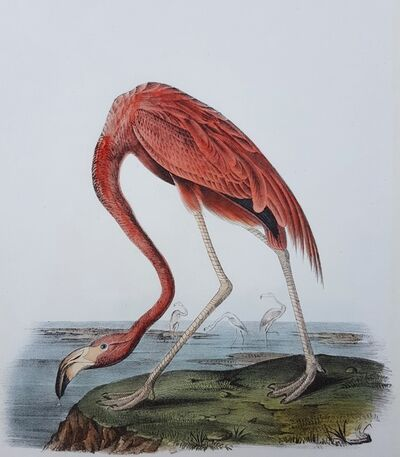 John James Audubon, 'American Flamingo', 1840-1844