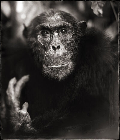 Nick Brandt, 'Portrait of Old Chimpanzee with Hand II, Mahale', 2003