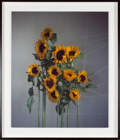 Richard Learoyd, 'Large sunflowers', 2018
