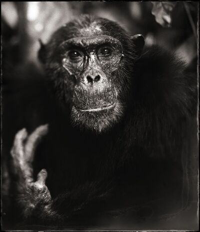Nick Brandt, 'Portrait of Old Chimpanzee with Hand II, Mahale 2003'